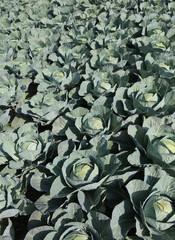cultivating many cabbages in northern Europe