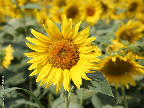 yellow sunflower bloom blossomed in summer