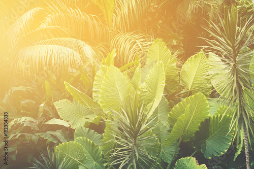 Fototapeta palm trees, jungle - tropical plants background