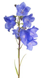 eight blue bellflower blooms on stem