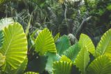 huge palm tree leaves , Elephant Ears   - 182386418