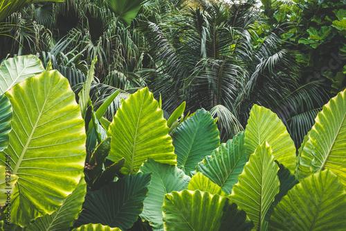 huge palm tree leaves , Elephant Ears