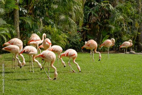 group of flamingos on meadow with palm tree background Poster