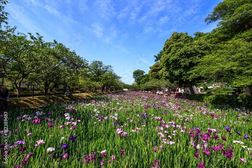 Plexiglas Iris 花菖蒲