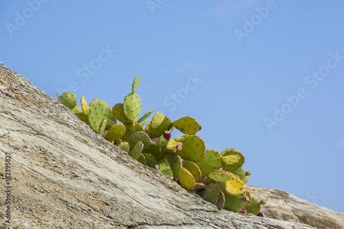 Fotobehang Liguria cactus on the coast of Liguria