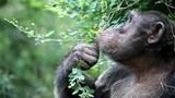 Chimpanzee - 182403407