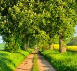 Allee mit blühenden Kastanienbäumen im Frühling - 182406826