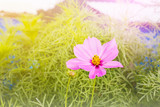 Lovely one flower cosmos on tree with green leaf in dreamy colour - 182412617