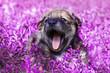 Leinwanddruck Bild - cute little puppy sitting in the grass with lilac funny open mouth