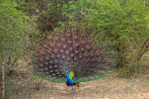 Plexiglas Pauw peacock with a beautiful straight tail