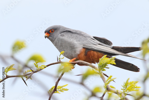 Very close up portrait of red footed falcon sits on a branch on blue blurred bac Poster