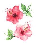 Hibiscus flowers, Watercolor painting - 182420029