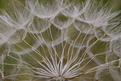 dandelion seeds close up macro shoot. detail of a dandelion flower. macro dandelion seed detail on a bright background.