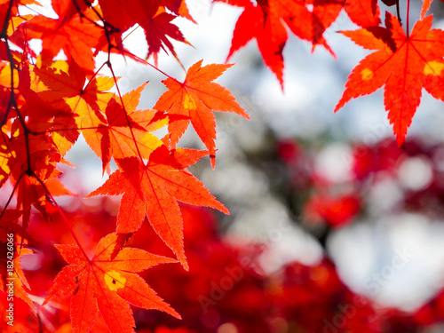 red maple leaves in autumn - 182426066