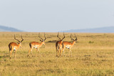 Flock of Impala antelope - 182433450