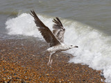 Young seagull taking off from the pebble beach - 182441838