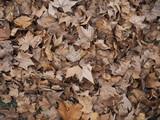 Carpet of fallen maple leaves