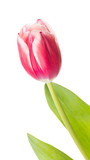 beautiful bright two-tulip tulip - 182449818