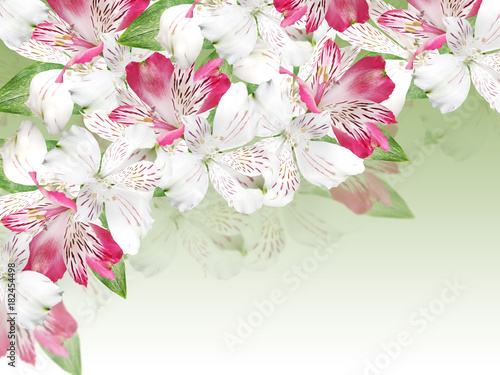 Beautiful floral background of white and pink alstroemerias