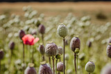 field of poppy heads with only one flower left with petals, fields harvested for opium drug use