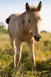 Foal grazing on the grass - 182455887