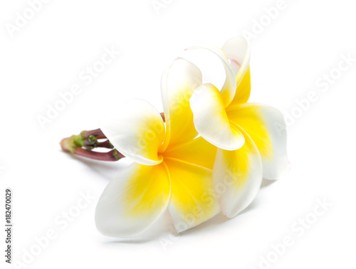 Fotobehang Plumeria frangipani flower