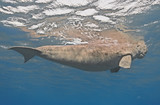 Dugong dugon (seacow or sea cow) swimming in the tropical sea water - 182470622