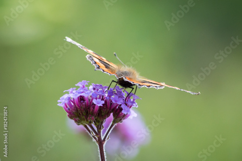 Fotobehang Vlinder Small Tortoiseshell butterfly viewed from behind