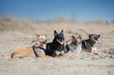 Four dogs lays on the sand at the beach - 182480622