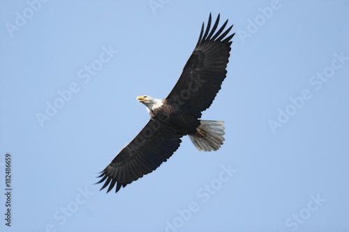 Plexiglas Eagle Adult Bald Eagle (haliaeetus leucocephalus)