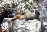 Fur seal rests on rock - 182494444