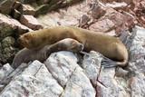 Fur seal rests on rock - 182494463