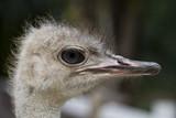 Ostrich - 182514241