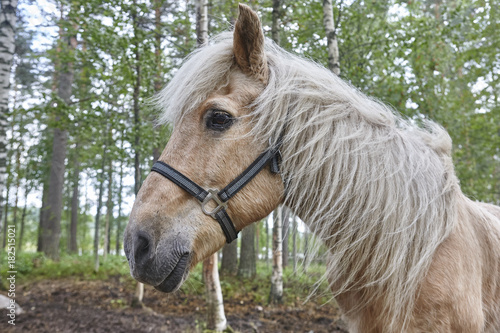 Aluminium Paarden Head horse in a Finland forest landscape. Animal background