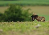 Le renard à la sortie d'un poulailler