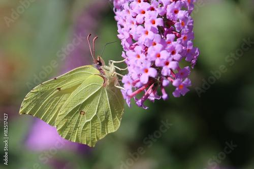 Fotobehang Vlinder Papillon citron en mode camouflage!