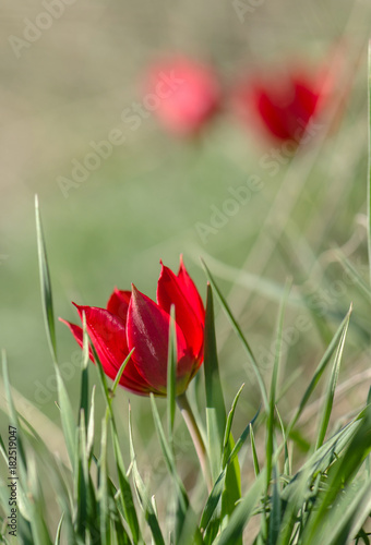Fotobehang Tulpen Red tulip on grass background