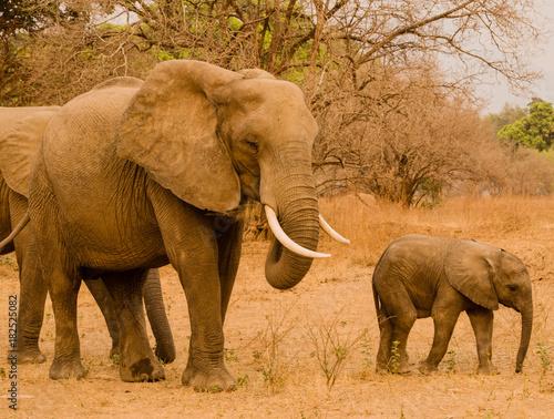 Elefanten in der Savanne vom in Simbabwe, Südafrika Poster