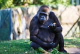 Gorilla is eating outdoors
