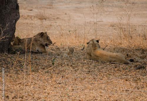 Löwin in der Savanne vom in Simbabwe, Südafrika Poster