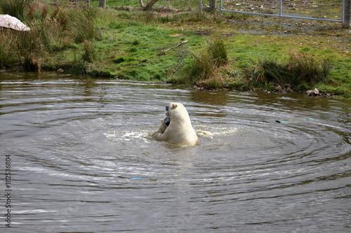 Plexiglas Zwaan polar bear