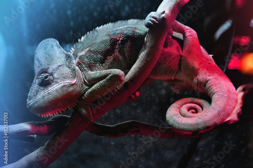Aluminium Kameleon Bored chameleon sitting on branch in zoo terrarium