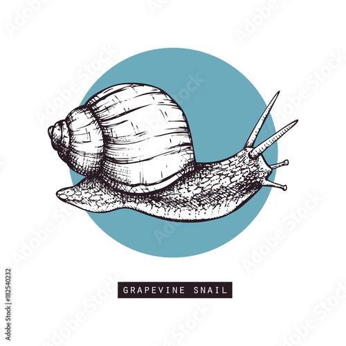 vector illustration of hand drawn grapevine snails vintage sketch