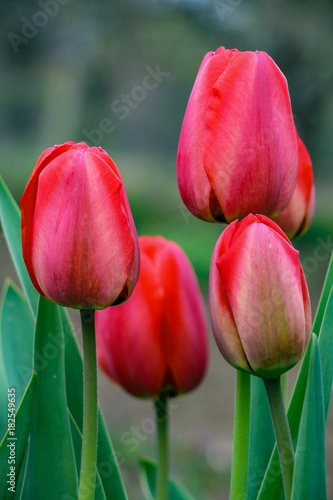Fotobehang Tulpen Red tulips in the garden, Spring time