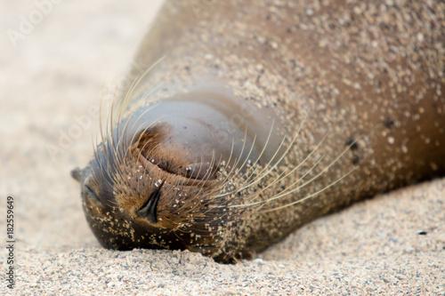 Sleeping Seal Poster