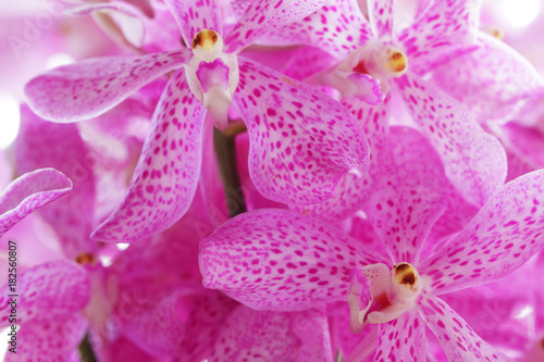 close up of beautiful pink orchid flower as background. - 182560807