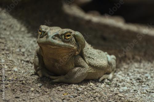 Fotobehang Kikker Toad 02