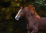 Portrait of a red beautiful  horse in motion autumn - 182567088