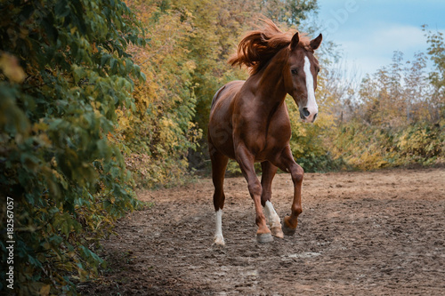 Beautiful red horse gallop on freedom autumn