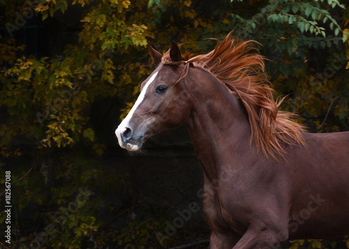Aluminium Paarden Portrait of a red beautiful horse in motion autumn